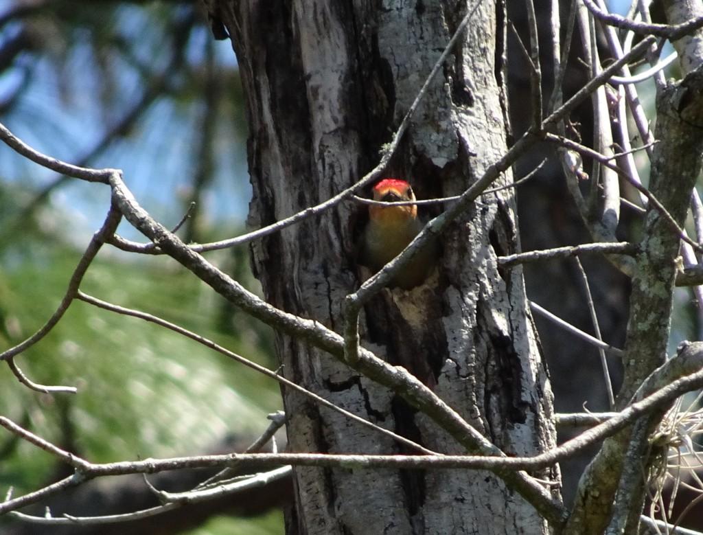 2021-04-13 Red-bellied Woodpecker male in nest. Backyard. East Orlando FL, Sony Cybershot DSC-HX90V.