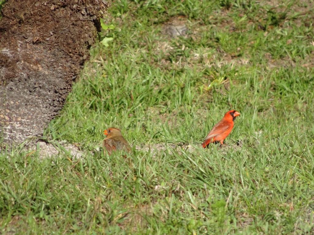 2021-04-27 Northern Cardinal pair. Backyard. East Orlando FL, Sony Cybershot DSC-HX90V.