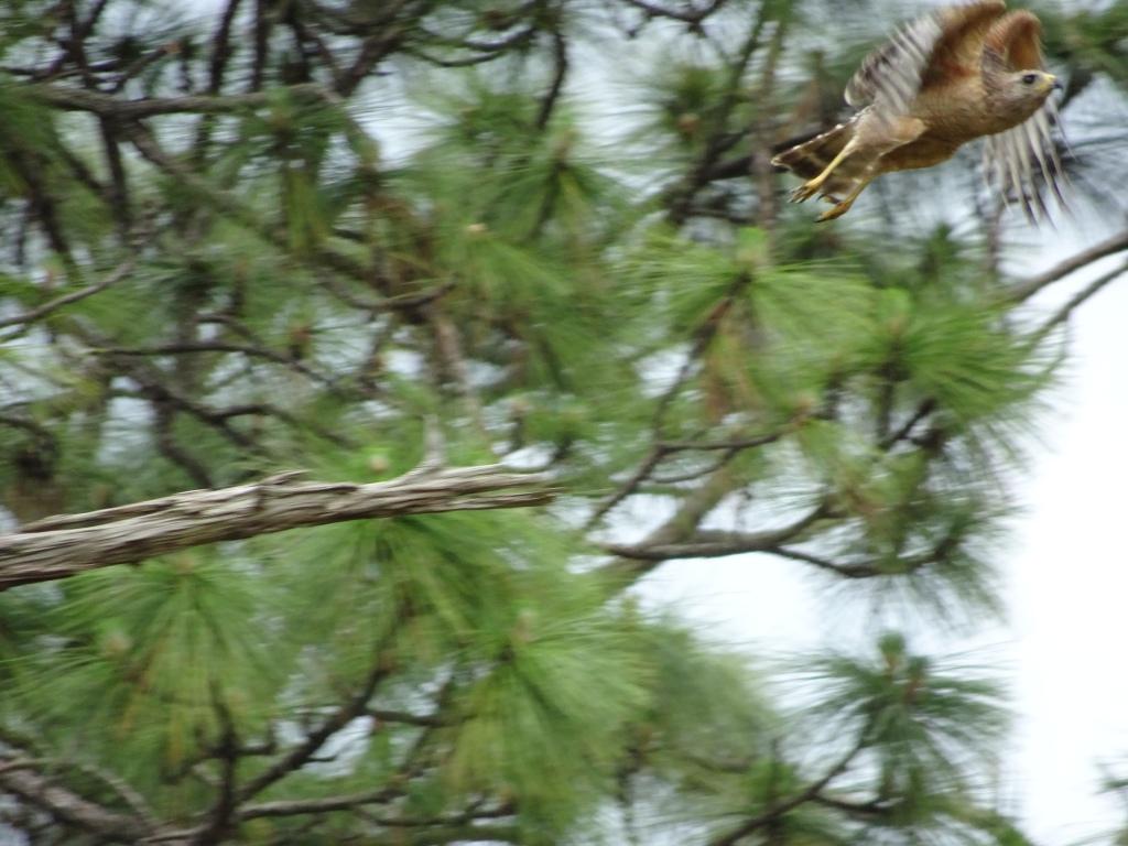 2021-05-21 Red-shouldered Hawk in flight. Backyard. East Orlando FL, Sony Cybershot DSC-HX90V.