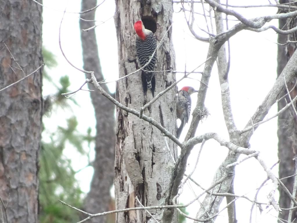 2021-06-04 Red-bellied Woodpecker pair at nest. Backyard. East Orlando FL, Sony Cybershot DSC-HX90V.