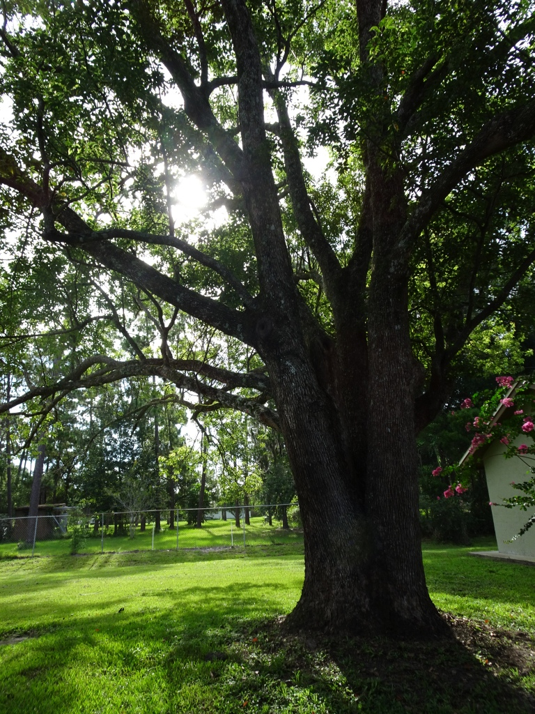 A picture of our backyard oak tree, the sun shining between its branches.
